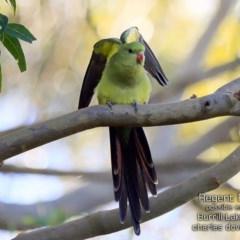 Polytelis anthopeplus (Regent Parrot) at Burrill Lake, NSW - 3 Jul 2019 by Charles Dove