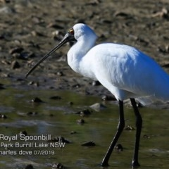 Platalea regia (Royal Spoonbill) at Wairo Beach and Dolphin Point - 5 Jul 2019 by Charles Dove
