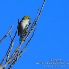 Zosterops lateralis (Silvereye) at Coomee Nulunga Cultural Walking Track - 6 Jul 2019 by Charles Dove