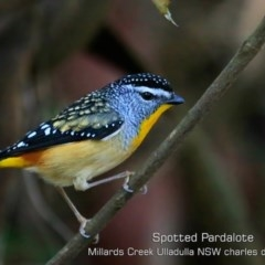Pardalotus punctatus (Spotted Pardalote) at Ulladulla - Millards Creek - 5 Jul 2019 by CharlesDove