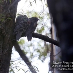 Podargus strigoides (Tawny Frogmouth) at Ulladulla - Millards Creek - 5 Jul 2019 by CharlesDove