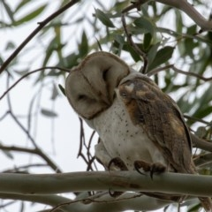 Tyto alba (Barn Owl) at Jerrabomberra Wetlands - 16 Jun 2019 by rawshorty