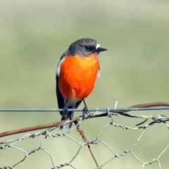 Petroica phoenicea (Flame Robin) at Tharwa, ACT - 9 Jul 2019 by RodDeb