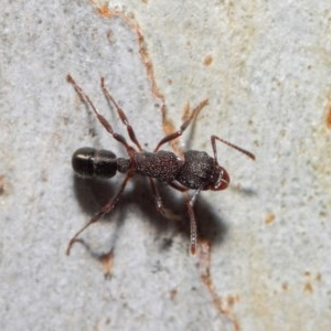 Rhytidoponera tasmaniensis at ANBG - 7 Jul 2019