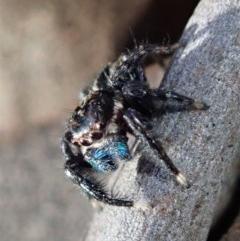 Jotus auripes (Jumping spider) at Aranda Bushland - 6 Jul 2019 by CathB