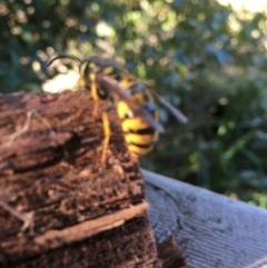 Vespula germanica (European wasp) at Pambula, NSW - 10 Jul 2019 by DonneMunn