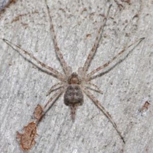 Tamopsis sp. (genus) at ANBG - 26 Jun 2019