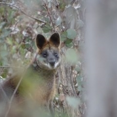 Wallabia bicolor (Swamp Wallaby) at Wanniassa Hill - 7 Jul 2019 by Mike