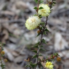 Acacia gunnii (Ploughshare Wattle) at Wanniassa Hill - 7 Jul 2019 by Mike