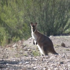 Macropus rufogriseus (Red-necked Wallaby) at Woodstock Nature Reserve - 13 May 2019 by KumikoCallaway