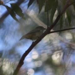 Pachycephala pectoralis (Golden Whistler) at Moruya, NSW - 12 Jul 2019 by LisaH