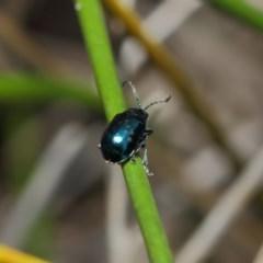 Altica sp. (genus) at ANBG - 13 Jul 2019