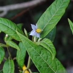 Solanum stelligerum (Devil's Needles) at Coomee Nulunga Cultural Walking Track - 11 Feb 2010 by NicholasdeJong