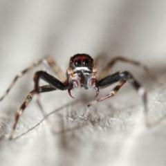 Helpis minitabunda (Jumping spider) at Evatt, ACT - 12 Nov 2017 by TimL