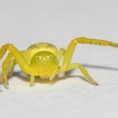 Lehtinelagia sp. (genus) (Flower Spider or Crab Spider) at Evatt, ACT - 25 Nov 2017 by TimL