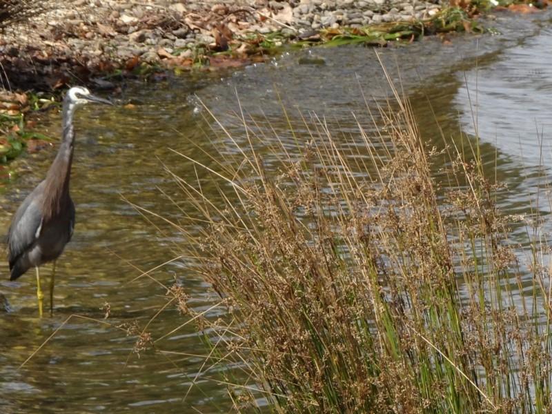 Egretta novaehollandiae at Commonwealth & Kings Parks - 8 Mar 2019