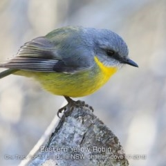 Eopsaltria australis (Eastern Yellow Robin) at One Track For All - 12 Jul 2019 by CharlesDove