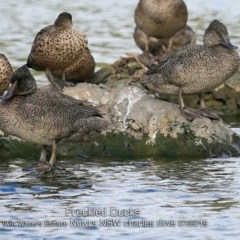 Stictonetta naevosa (Freckled Duck) at Council Reserve CSN286 - 12 Jul 2019 by Charles Dove