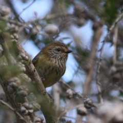 Acanthiza lineata (Striated Thornbill) at Moruya, NSW - 14 Jul 2019 by LisaH