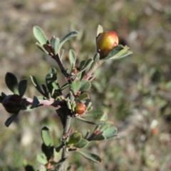 Hibbertia obtusifolia (Grey Guinea-flower) at Wanniassa Hill - 14 Jul 2019 by KumikoCallaway