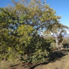 Acacia baileyeana X Acacia decurrens (Hybrid of Cootamundra and Green wattles) at Wanniassa Hill - 13 Jul 2019 by KumikoCallaway