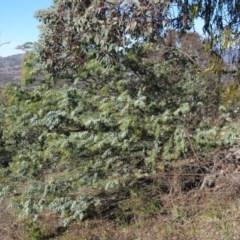 Acacia baileyana (Cootamundra Wattle, Golden Mimosa) at Wanniassa Hill - 13 Jul 2019 by KumikoCallaway