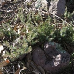 Juniperus communis (Juniper) at Wanniassa Hill - 14 Jul 2019 by KumikoCallaway