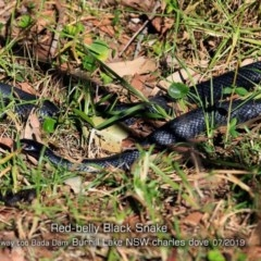 Pseudechis porphyriacus (Red-bellied Black Snake) at Wairo Beach and Dolphin Point - 13 Jul 2019 by Charles Dove