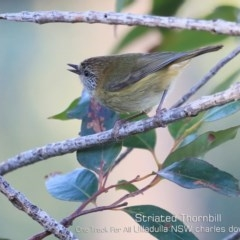 Acanthiza lineata (Striated Thornbill) at One Track For All - 11 Jul 2019 by CharlesDove