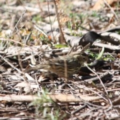 Pyrrholaemus sagittata (Speckled Warbler) at Red Hill Nature Reserve - 15 Jul 2019 by LisaH