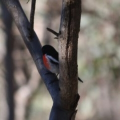 Petroica boodang (Scarlet Robin) at Red Hill Nature Reserve - 15 Jul 2019 by LisaH