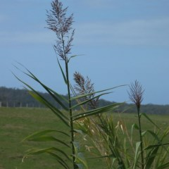Arundo donax (Giant Reed, Elephant Grass) at Moruya, NSW - 28 Sep 2006 by JackieMiles