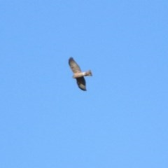 Accipiter cirrocephalus (Collared Sparrowhawk) at Jerrabomberra Wetlands - 15 Jul 2019 by RodDeb