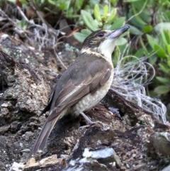 Cracticus torquatus (Grey Butcherbird) at Rosedale, NSW - 5 Jul 2019 by jbromilow50