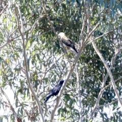 Haliastur sphenurus (Whistling Kite) at Tomakin, NSW - 9 Jul 2019 by jbromilow50