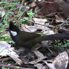 Psophodes olivaceus (Eastern Whipbird) at Rosedale, NSW - 8 Jul 2019 by jbromilow50