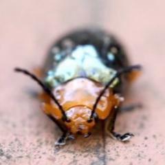 Lamprolina sp. (Pittosporum leaf beetle) at Rosedale, NSW - 7 Jul 2019 by jbromilow50