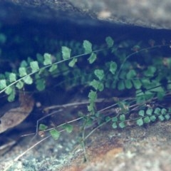 Asplenium flabellifolium (Necklace fern) at Conder, ACT - 28 Jul 2000 by michaelb