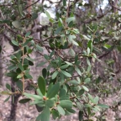 Unidentified Other Shrub (TBC) at Wingecarribee Local Government Area - 15 Jul 2019 by Margot