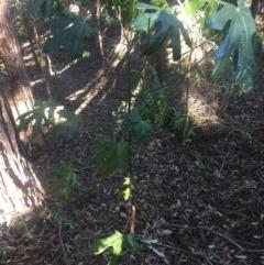Brachychiton acerifolius (Illawarra Flame Tree) at Budgong, NSW - 16 Jul 2019 by Ry
