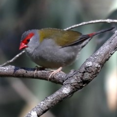 Neochmia temporalis (Red-browed Finch) at Rosedale, NSW - 9 Jul 2019 by jbromilow50