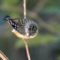 Pardalotus punctatus (Spotted Pardalote) at Rosedale, NSW - 9 Jul 2019 by jbromilow50