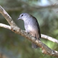 Colluricincla harmonica (Grey Shrike-thrush) at Mogo State Forest - 6 Jul 2019 by jbromilow50