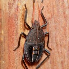 Pentatomidae (family) (Unidentified Shield or Stink bug) at Pialligo, ACT - 14 Jul 2019 by Harrisi