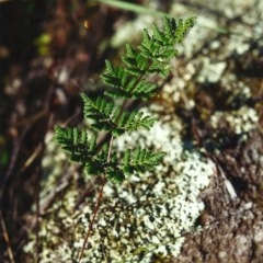 Cheilanthes sieberi (Rock fern) at Conder, ACT - 4 May 2000 by michaelb