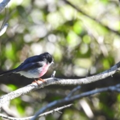 Petroica rosea (Rose Robin) at Berry, NSW - 15 Jul 2019 by Andrejs