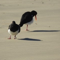 Haematopus longirostris (Pied Oystercatcher) at Comerong Island Nature Reserve - 29 Jun 2019 by Andrejs