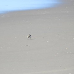 Charadrius ruficapillus at Comerong Island Nature Reserve - 29 Jun 2019