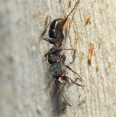 Rhytidoponera metallica (Greenhead ant) at ANBG - 16 Jul 2019 by TimL