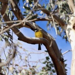 Pachycephala pectoralis (Golden Whistler) at Mount Majura - 18 Jul 2019 by Lisa.Jok